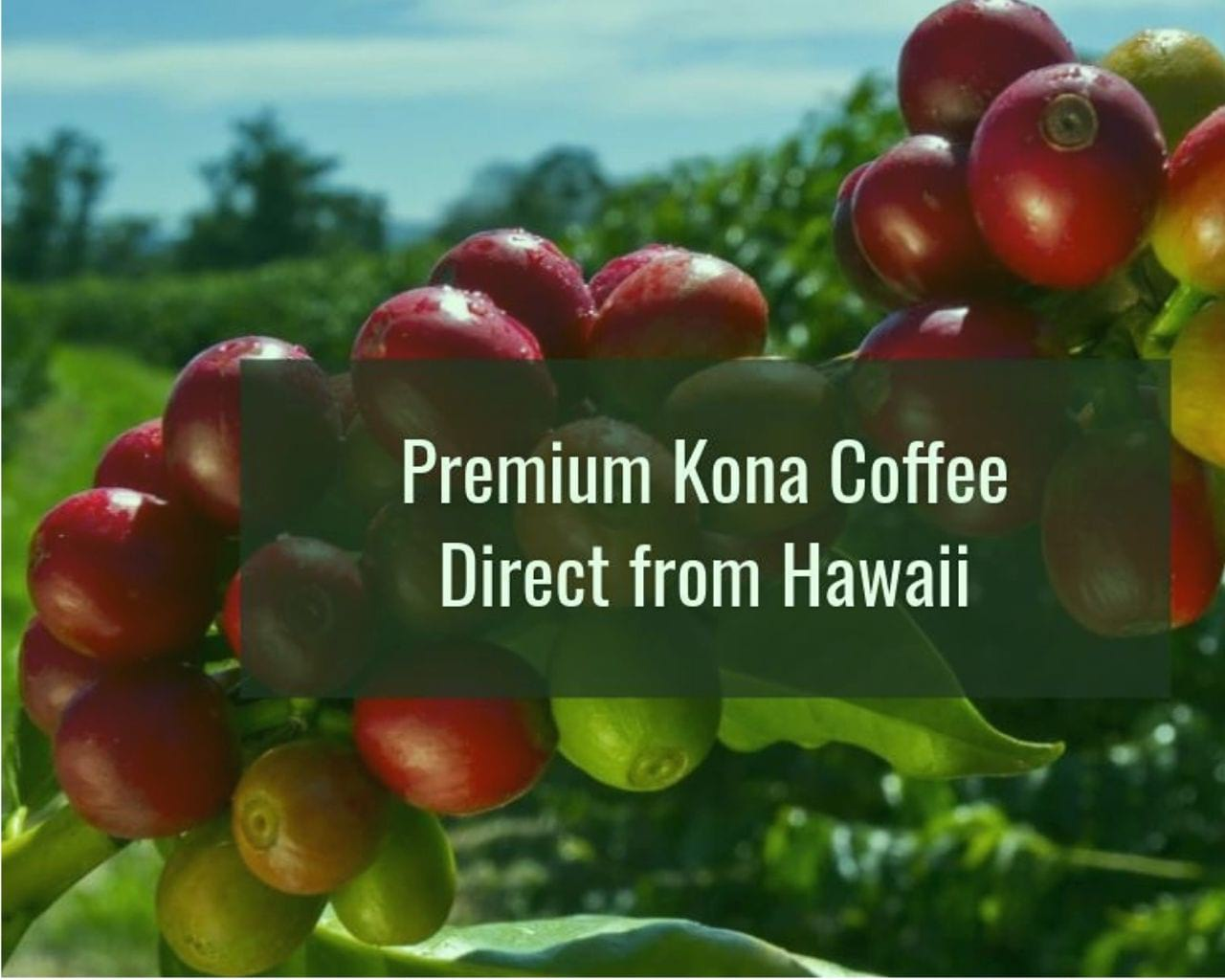 What is KONA COFFEE & What Makes KONA COFFEE So Special?